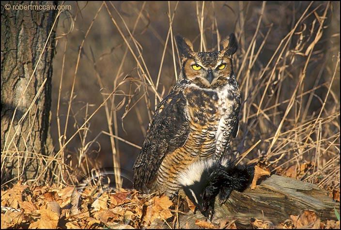 [Image: Owl-Great-Horned-Predator-Striped-Skunk-2-144.jpg]